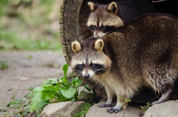 raccoon-3933050_1920 (1)