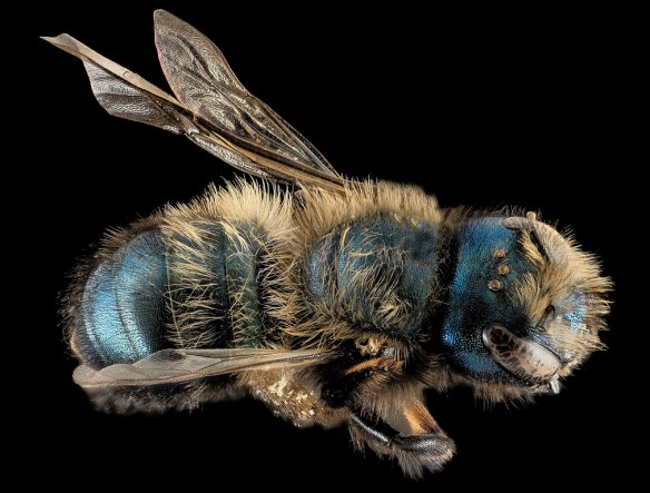 blue bee magnified