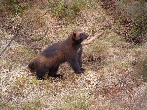 Wolverine,_Kristiansand_Zoo
