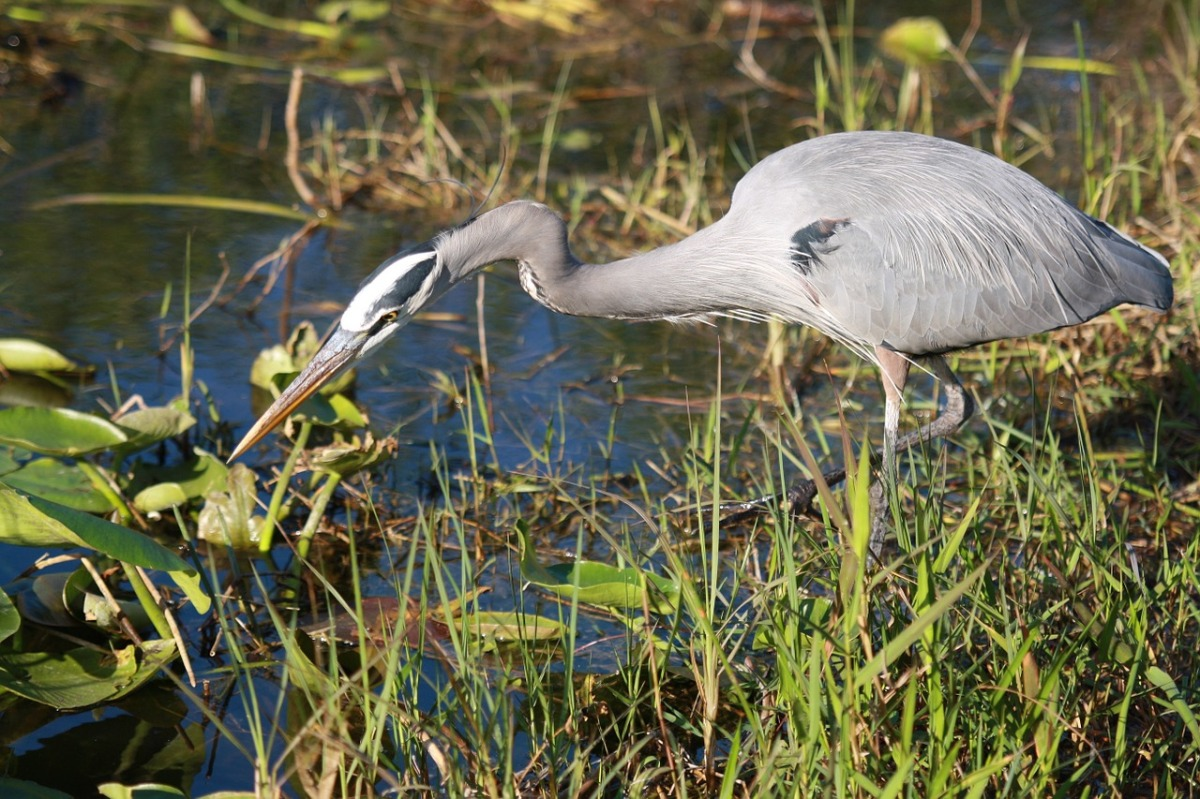 The Great Blue Heron and the Heronry in Stanley Park