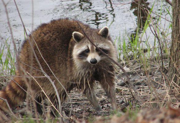 raccoonwater