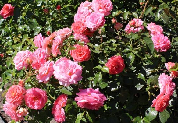 rosespark