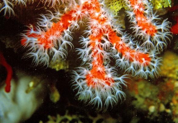Corallium_rubrum_(Linnaeus,_1758)_11 (2)