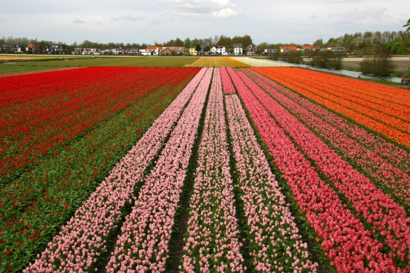 Holland_tulips