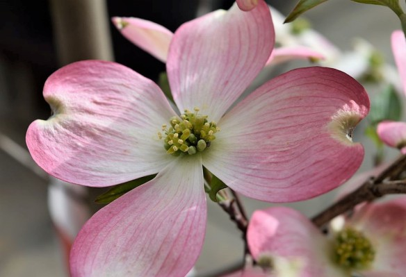 Pink_Dogwood_Flower (2)