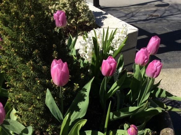 TulipThree