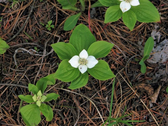 Bunchberry_plants (3)