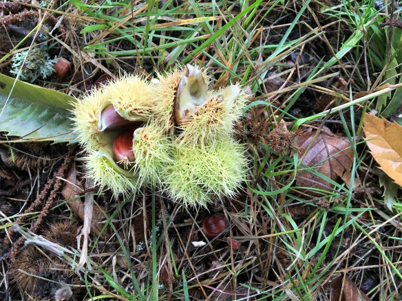 chestnutone