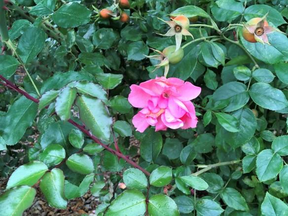 roseandhips