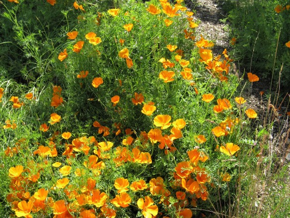 Californiapoppiestwo