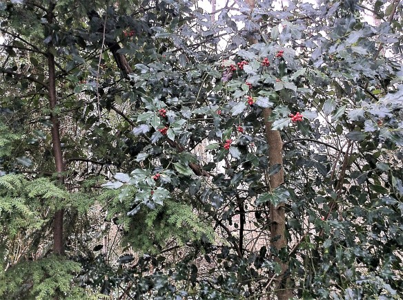 holly and berries (2)