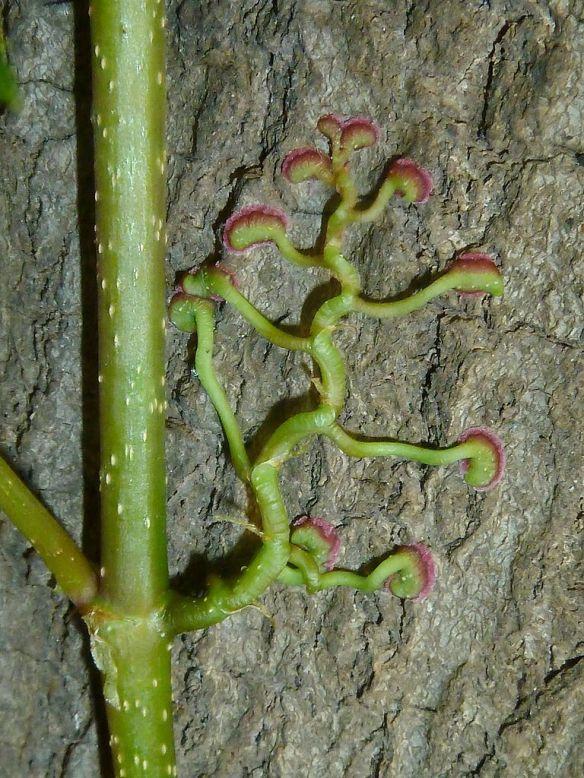Parthenocissus_quinquefolia,_adhesion