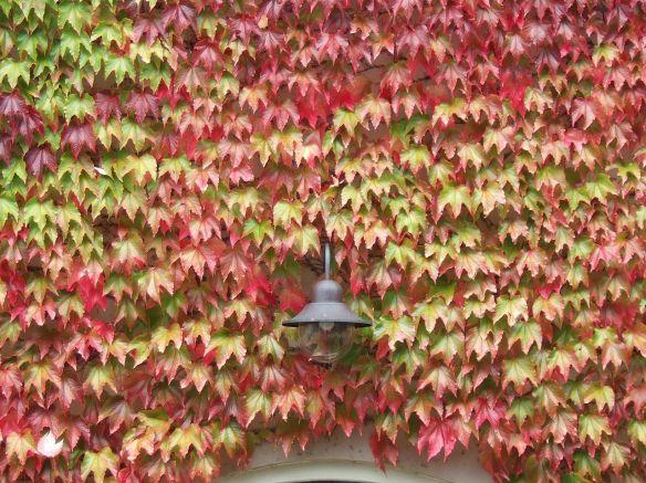 Parthenocissus_tricuspidata,_Boston_ivy,_in_autumn_colours