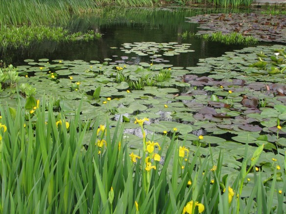 yellow flag iris in pond