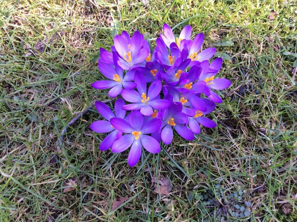 Crocusesone