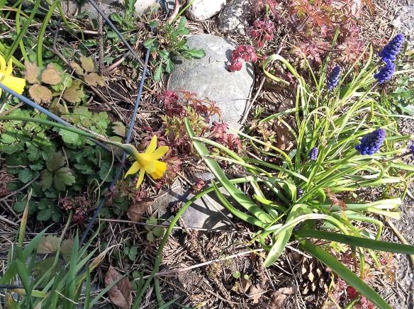 daffodillstwo