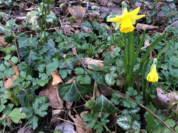 daffodilsone