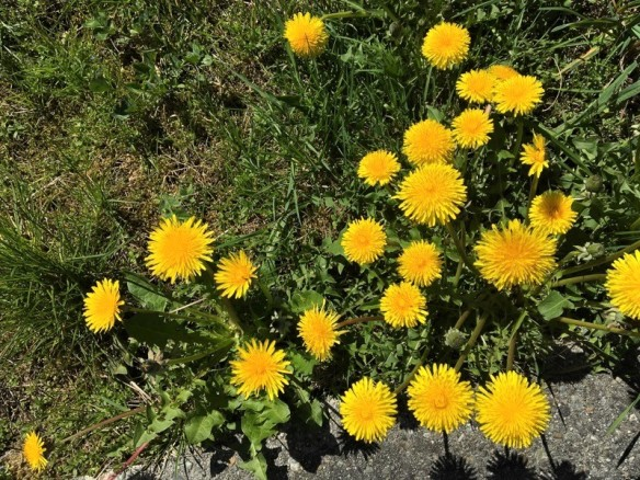 Dandelioncrowd (2)
