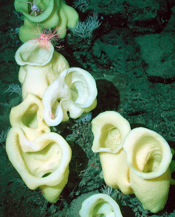 Staurocalyptus-_noaa_photo_expl0951