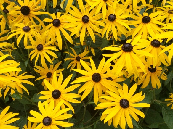 Black-eyed Susans again