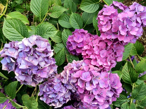 Hydrangea multicoloured